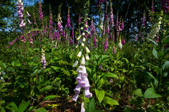 Foxgloves Royalty Free Stock Photo