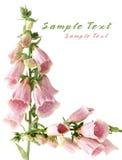 Foxgloves flower Royalty Free Stock Photo