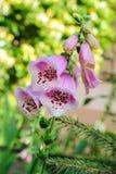 Foxgloves in garden Stock Photo