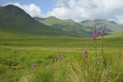 Foxgloves in Glen Shiel Royalty Free Stock Photo