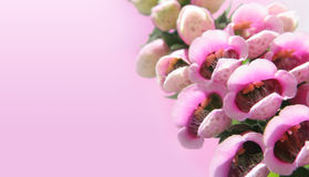 Foxgloves on pink Stock Photography
