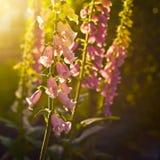 Foxgloves. Purple foxgloves in the sunlight Stock Photo