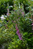 Foxgloves and roses. Stock Image