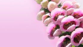 Foxgloves sul colore rosa Fotografia Stock