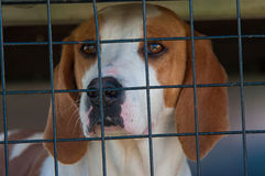 Foxhound in a cage Stock Photo