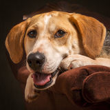 Foxhound Cross Dog Royalty Free Stock Images