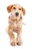Foxhound Stock Photos