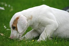 FoxHound Pup. A Foxhound puppy on the grass with daisey flowers Royalty Free Stock Photography