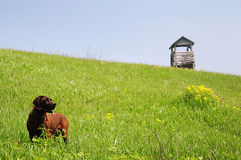 Foxhound and raised hide. Dog in meadow a wooden raised hide in background Royalty Free Stock Photography