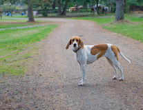 Foxhound stood on road. Single foxhound dog stood on road in countryside Royalty Free Stock Photos