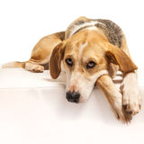 Foxhound Royalty Free Stock Photography