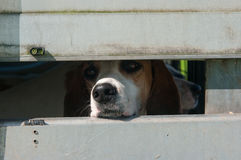 Foxhound in a trailer Royalty Free Stock Image