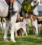 Foxhounds americani prima di una caccia Immagine Stock