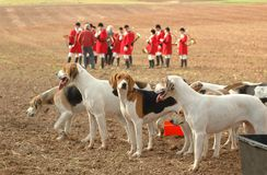 Foxhounds. Completion of Royalty Free Stock Photography