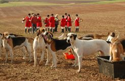 Foxhounds. Completion of Royalty Free Stock Photo