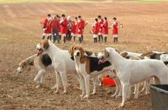 foxhounds di completamento Fotografia Stock Libera da Diritti