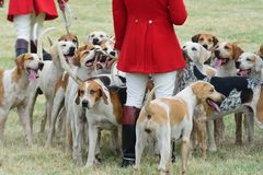 Foxhounds with hunters on foot Royalty Free Stock Photos