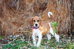 Foxhoundvalp royaltyfri foto