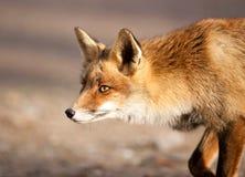 Foxie Stock Photos