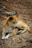 Foxlike dakloos puppy Royalty-vrije Stock Afbeeldingen