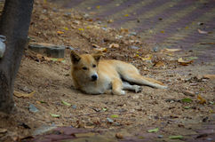 Foxlike homeless puppy Royalty Free Stock Image