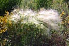 foxtail Fotografia Stock