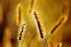 foxtail Imagenes de archivo