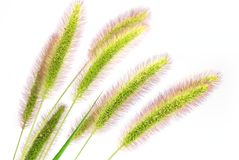 Foxtail Royalty Free Stock Photography