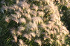 Foxtail Stock Image