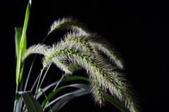 Foxtail Royalty Free Stock Images