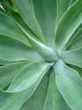 Foxtail Agave. Close-up on Agave Attenuata plant. Organic background. Vertical layout Stock Photography