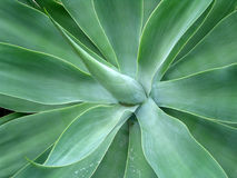 Foxtail Agave. Close-up on Agave Attenuata plant. Organic background. Horizontal layout Stock Photos