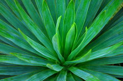 Foxtail Agave Stock Image
