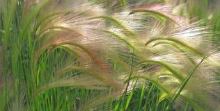 Free Foxtail Barley Stock Photo - 107258700