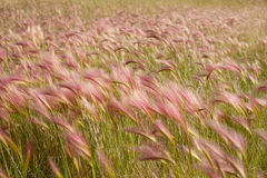 Foxtail Barley Stock Photos