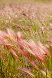 Foxtail Barley Royalty Free Stock Images