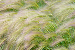 Foxtail Barley Stock Images