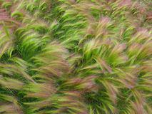 Foxtail Barley Royalty Free Stock Photo