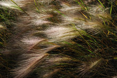 Foxtail Barley (Hordeum jubatum) Royalty Free Stock Photography