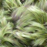 Foxtail Barley (Hordeum Jubatum) Stock Images