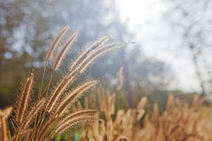 Foxtail with blacklight Royalty Free Stock Photography