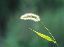 Foxtail and Branch Royalty Free Stock Photos