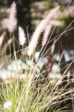 Foxtail Bush Stock Photo