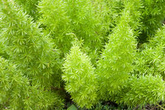 Foxtail Fern Stock Images