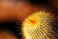 Foxtail or fishhook cactus with orange spines Royalty Free Stock Image
