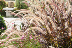 Foxtail fountain grass Royalty Free Stock Photos