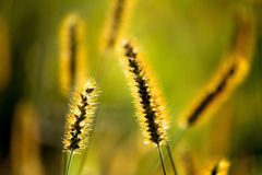 Foxtail Royalty Free Stock Photos