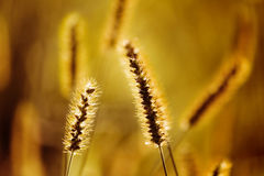 Foxtail Stock Images
