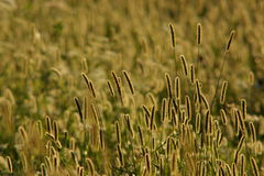 Foxtail grass Stock Photo