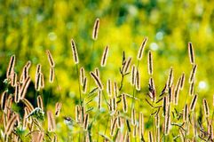 Foxtail Grass. Growing on the prairie backlit Royalty Free Stock Image